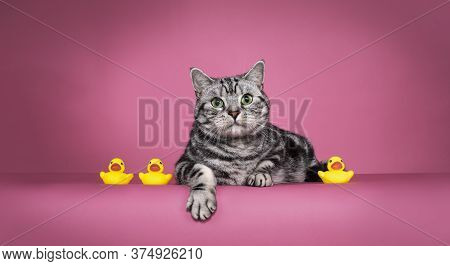 Handsome Black Silver Blotched British Shorthair Cat, Laying Down Facing Frontinbetween 3 Little Yel