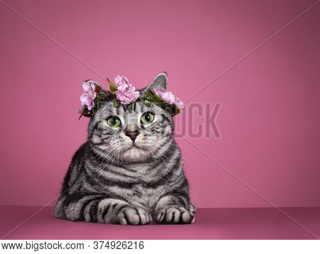 Handsome Black Silver Blotched British Shorthair Cat, Laying Down Facing Front Wearing Pink Flower W