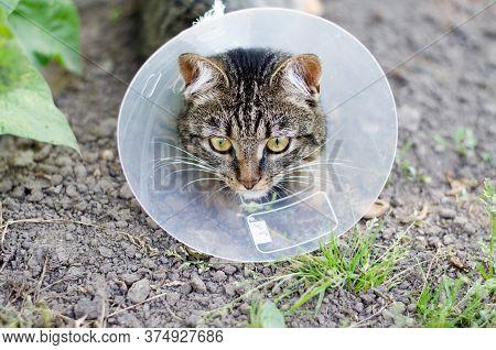 Young Tabby Kitten In An Elizabethan Collar After Surgery. Cat Sterilization.