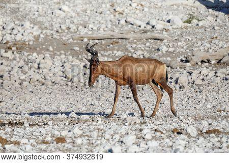 Red Hartebeest Walking In The Stark White Rocky Landscape Of Etosha National Park