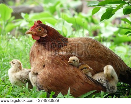 Close Up Of Mother Hen With Three Cute Small Chicks Under Her Wing And One Beside Her Surrounded By