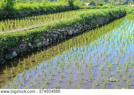 Young Rice Are Growing In The Paddy Field. Rice Field