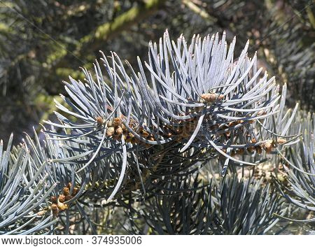 Colorado Blue Spruce Fir Tree Needle Conifer Evergreen