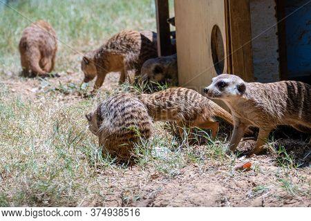 Family Of Meerkats Around Home