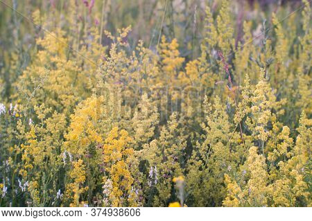 A Blooming Meadow In Full Bloom Of Various Grasses In The Summer Twilight. Natural Background