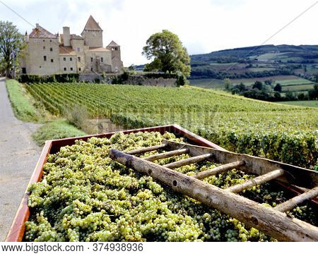 Fresh Picked Grapes Near The Vineyard Of Castle De Mille , Burgundy, France. Selective Focuse At The