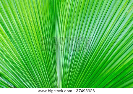 Green Leaf Of A Palm Tree.