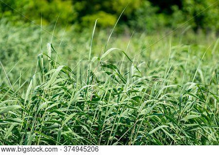 Fresh Green Reed By The River Rioni, Poti