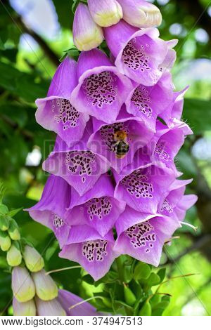 Pink Digitalis Flowers And A Bumblebee Flying Around In The Garden