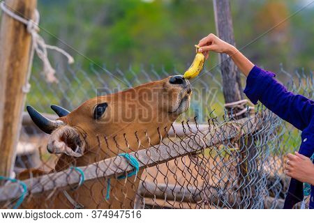 Vegan Activist Girl Feeding Domestic Brown Cow In A Farm Enclosure With Banana. Countryside Rural Li