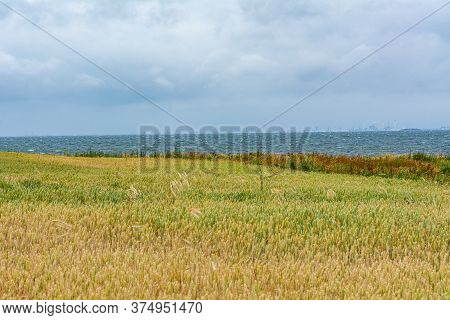 A Wheat Field With The Blue Ocean In The Background. Dark Clouds. The Picture Was Taken Near Loddeko