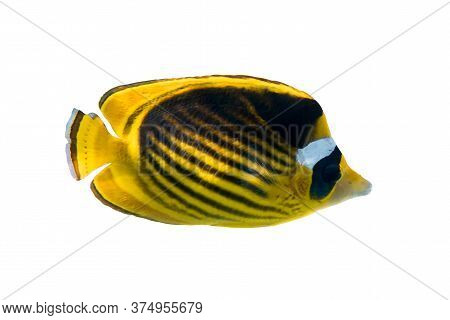 Raccoon Butterflyfish (chaetodon Lunula, Crescent-masked, Moon Butterflyfish) Isolated On White Back