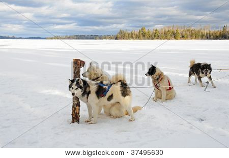 Sled dogs on frozen lake in northern Minnesota