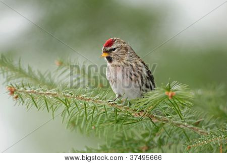 Common redpoll bird