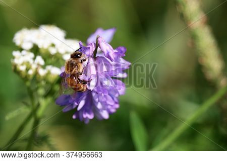 Bee Collects Pollen From The Purple Flower Of Tufted Vetch, Macro Shot. Honey Production, Summer Mea