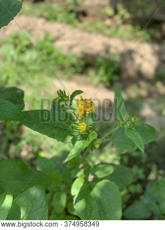 Yellow Flower Of The Green Plant With The Bee On It