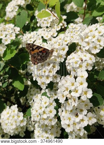 Blossom White Spiraea (meadowsweet) Flowers In Garden