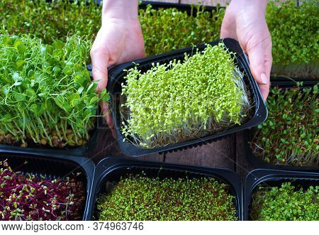 Microgreens Growing Background With Microgreen Sprouts In Female Hands