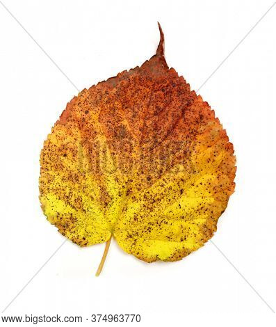 Autumn leaf of linden on a white background