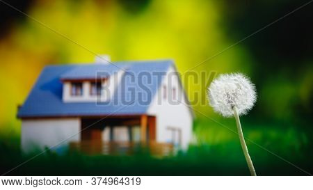 dandelion flower against house and green grass background
