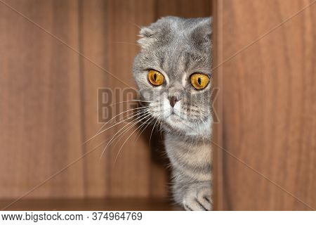 The Scottish Fold Grey Cat Cautiously Comes Out Of The Corner.