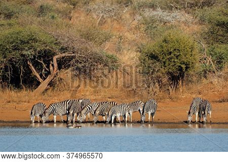 Herd of plains zebras (Equus burchelli) drinking water, Kruger National Park, South Africa
