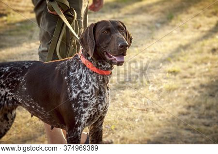 A Beautiful German Shorthair Dog Next To The Owner Is Standing In The Field. Pheasant Hunting. Head