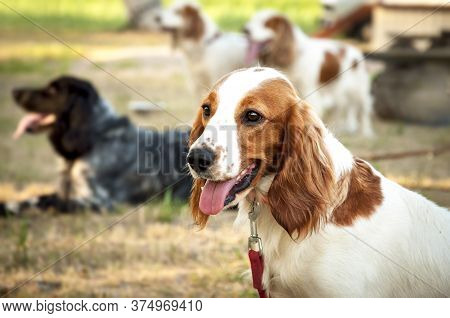 A Beautiful Dog English Springer Spaniel Breed Walks In The Field With Daisies. The Hunting Breed Of
