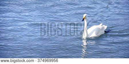 Horizontal banner with white swan on water. Mute swan on blue background. Copy space for text. Mock up template
