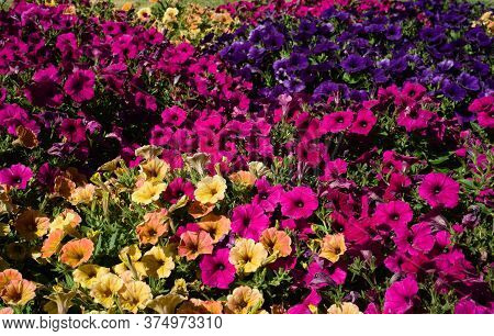 A Closeup Of Variously Colored Petunias Growing In A Garden Bed; Focus Toward The Front