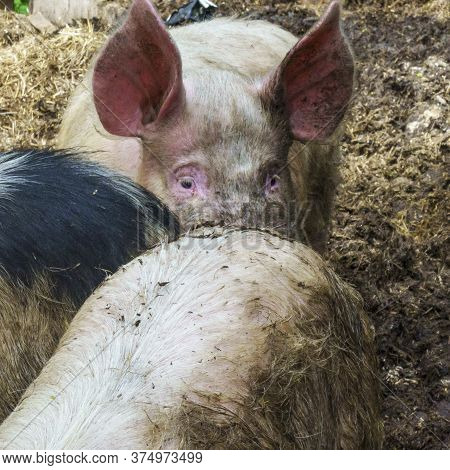 Domestic Pigs In The Livestock. Lrge Group Of Pigs Playing Together An Waiting To Be Fed In Their Ti