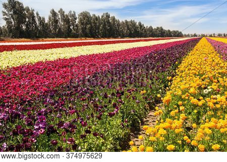 Gorgeous multicolor striped floral carpet. Beautiful sunny spring day. Kibbutz field of flowering colorful buttercups. Spring walk in southern Israel. Ecological, botanical and photo tourism concept