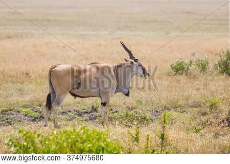 Kenya. Antelope from the bovine family - Eland Kanna. The largest antelope in the world. Safari in Masai Mara National Park. Ecological, active and phototourism concept