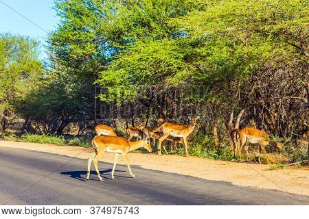 Small herd of young impala antelopes. Animals live and move freely in the African savannah. South Africa. The Kruger Park. The concept of ecological and photo tourism