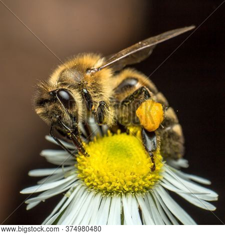 A Bee Collects Nectar From A Chamomile Flower, Closeup Of A Bee In The Process Of Collecting Nectar
