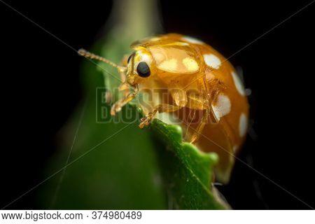 Orange Or Yellow Ladybug, Halyzia Sedecimguttata, Or Orange Ladybird, Is A Species Of Coccinellidae