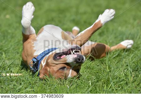 American Staffordshire Terrier Happy Lying On His Back