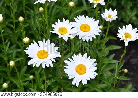 Many Chamomile Flowers On A Background Of Their Own Leaves.