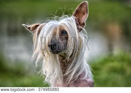 Old Chinese Crested Dog