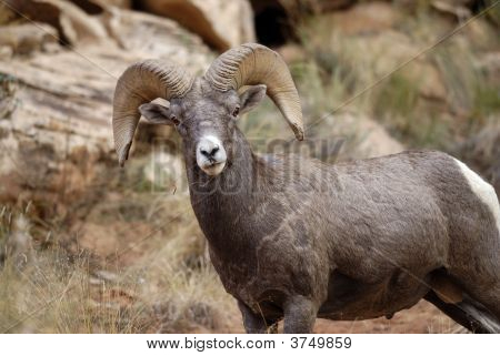 poster of Big Horn Ram in Capitol Gorge Capitol Reef National Park