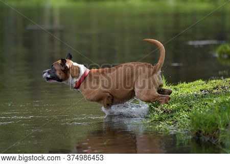 American Staffordshire Terrier Jumping
