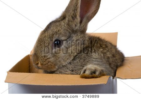 Bunny On Box As Gift