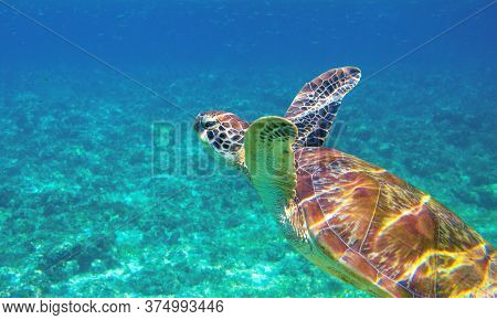 Sea Turtle Closeup In Blue Water. Aquatic Animal Underwater Photo. Tropical Island Snorkeling And Di