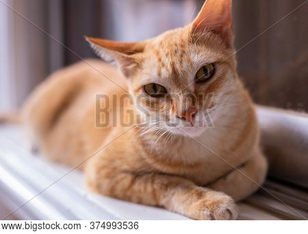 Red Cat Resting On Window. Cute Domestic Animal Portrait. Orange Or Ginger Cat Looking Into Camera.
