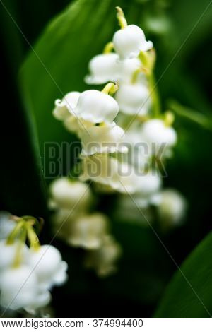White Blooming Lili Of The Valley In Morning Forest