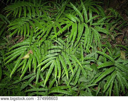 Pteris Umbrosa Jungle Brake Fern In Gilan, Iran.  The Habitat Of The Jungle Brake Is Rainforest . Ju