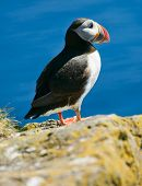 Puffin (Fratercula arctica) on the cliff against a blue background. West Fjords in the Iceland poster
