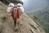 Donkey carrying heavy loads in annapurna in nepal poster