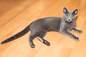 Young russian blue cat poster