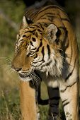 Siberian Tiger on the move in the woodlands poster